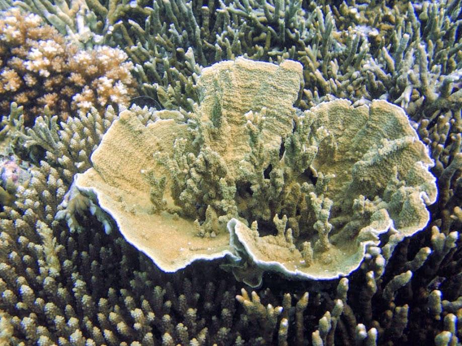 Montipora capricornis (Vase Coral), Naigani Island, Fiji.