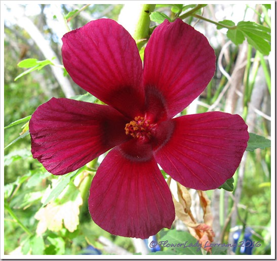 11-01-ruby-hibiscus