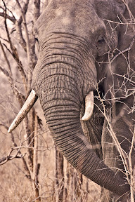 Elephant Male, South Africa
