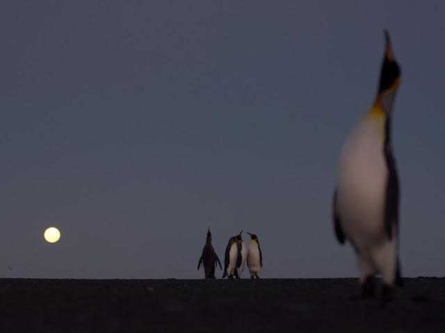 https://lh3.googleusercontent.com/-aIt1lHEKAWE/Tr0quUaM-mI/AAAAAAABxmU/5fP4BFNpp6c/s640/king-penguins_6321_990x742.jpg
