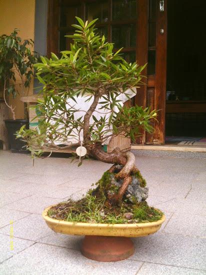 Ficus Nerifolia, Uma raiz de 3 anos... - Página 2 IMAG0090
