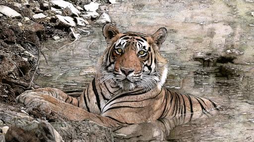 TigerBengalSummerDaycroppedcorrected96dpi-2015-04-20-16-31.jpg
