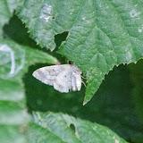 Geometridae : Larentiinae : Epirrhoe sp. Probablement : Epirrhoe galiata ([DENIS & SCHIFFERMÜLLER], 1775). Les Hautes-Lisières (Rouvres, 28), 21 septembre 2013. Photo : J.-M. Gayman