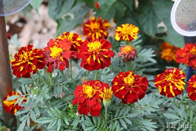 small marigolds
