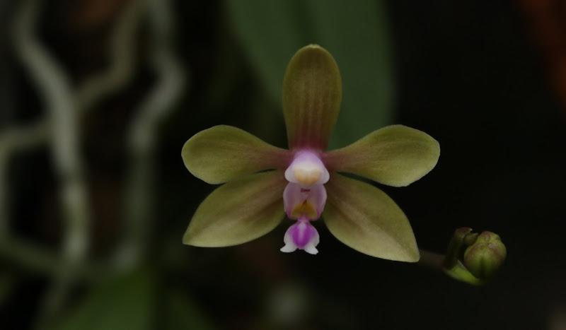 Phalaenopsis stobartiana IMG_3096