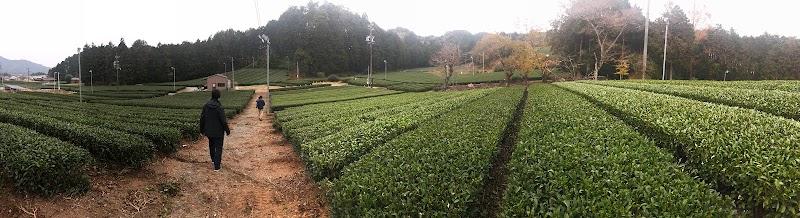 パノラマ撮影しても収まりきらない広大な茶畑