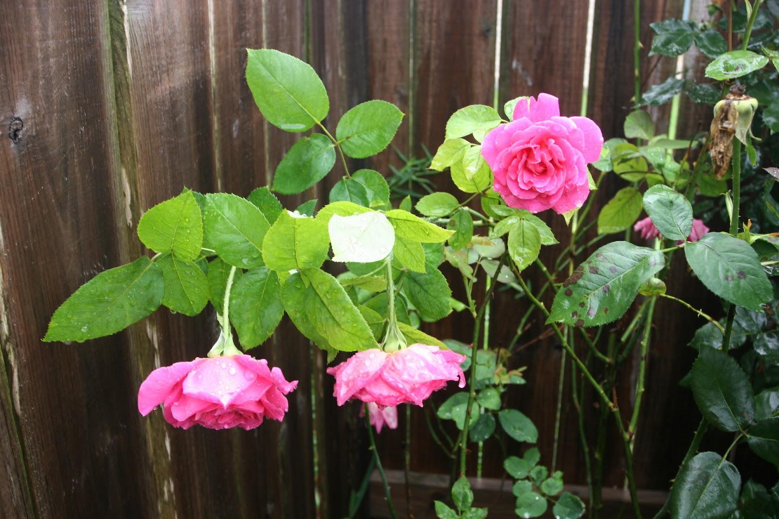 Gardening 2012 - IMG_3517.JPG