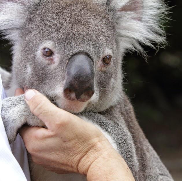Getting close to a koala at the Australia Zoo, Sunshine Coast