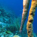 Trumpetfish hiding