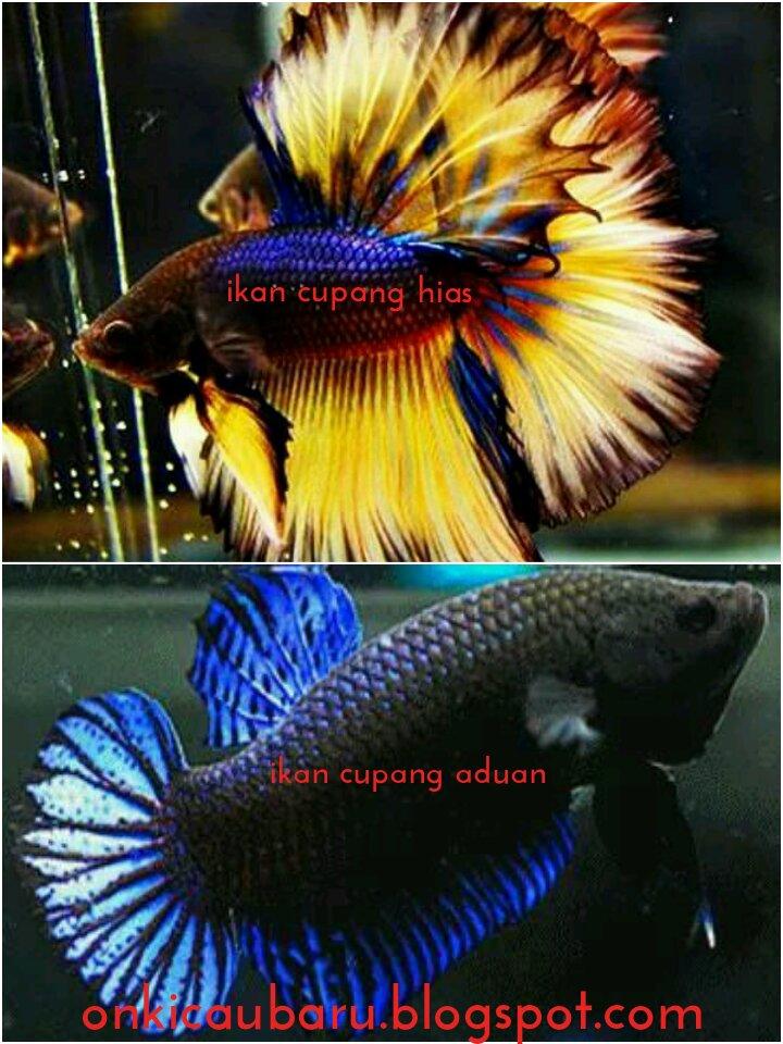 Ciri Ciri Ikan Cupang Hias Dan Ikan Cupang Aduan On Kicau Baru Okb