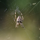 Araneidae : Araneus diadematus (CLERCK, 1757). Les Hautes-Lisières (Rouvres, 28), 28 août 2012. Photo : J.-M. Gayman