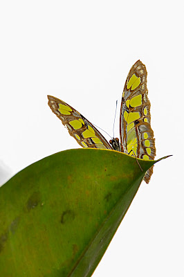 Farfalla di Wilmanna