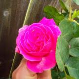 Gardening 2015 - 116_7685.JPG