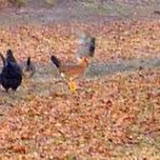 Feral chickens in my yard.