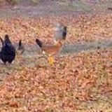 Feral chickens in my yard.