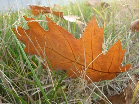 дубовый лист