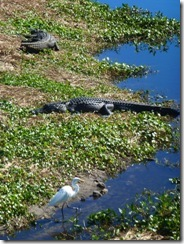 Alligators and egret