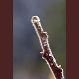 staghorn-sumac_MG_2825-copy.jpg