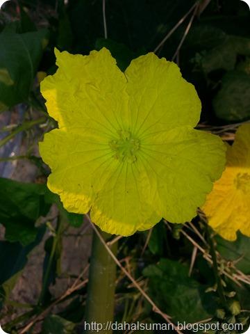 Sponge Gourd (2)