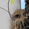 Greater Kiskadee nest