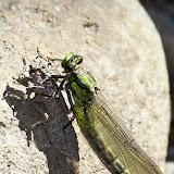 Стрекоза-коромысло (Aeshnidae)