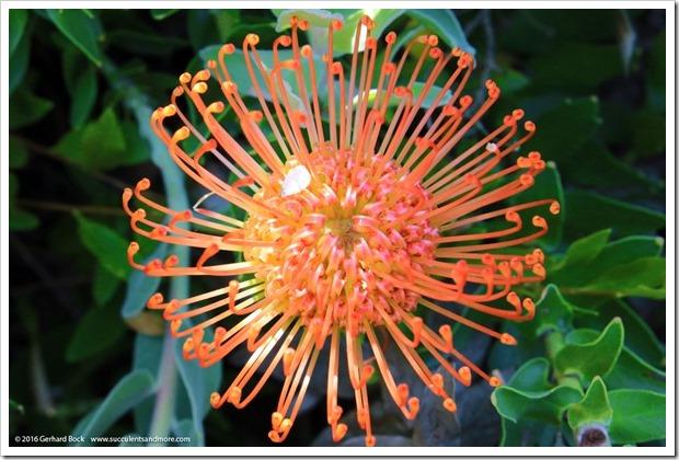 160813_UCSC_Arboretum_Leucospermum-glabrum-hybrid_006