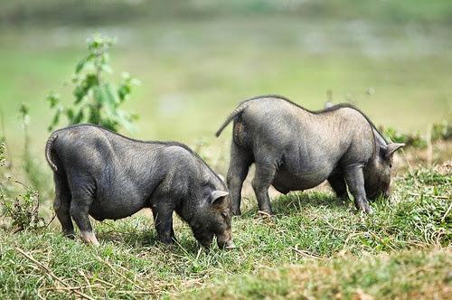 """31 Đặc sản lợn """"cắp nách"""" Mộc Châu"""