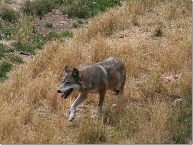 biodiversità-Canis_lupus