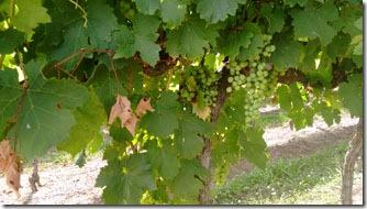 francioni-uvas