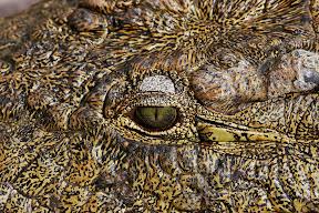 African Crocodile, Zimbabwe