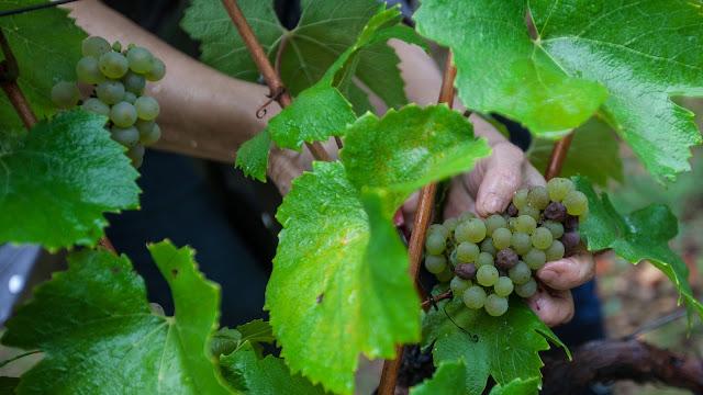 2013 vendanges du chardonnay - 2013%2B09%2B28%2BGuimbelot%2Bvendanges%2Bdu%2BChardonnay%2B152.jpg