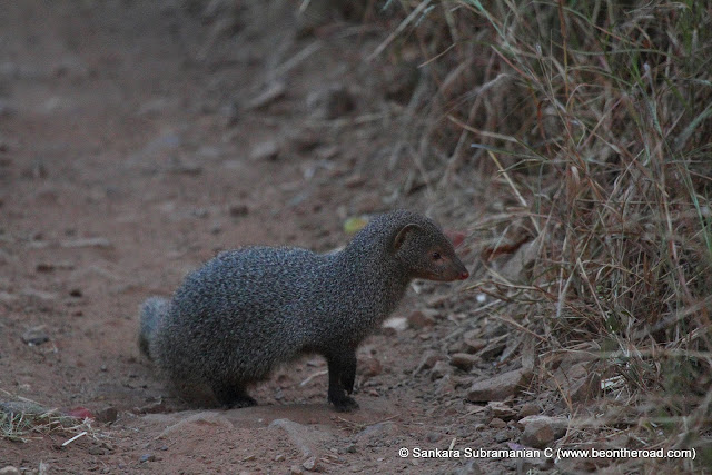 Common Mongoose