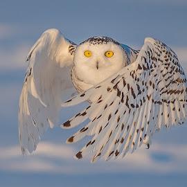 Snowy Owl by Rolland Gelly - Animals Birds ( rolland quebec canadfa )