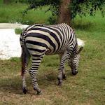 chattbir zoo zebra.jpg