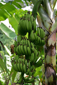 Bananas on a banana tree in Grenada