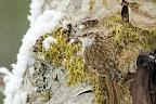 BEC COURBE   Grimpereau des bois sur un érable en hiver