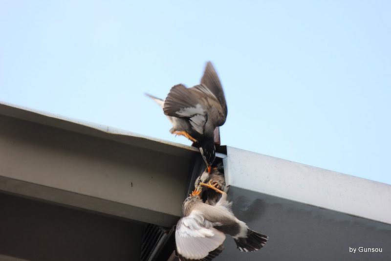 としてムクドリの巣の争奪戦は記事にしたことがありました。 短期間での子育てに好条件の巣の確保は重要なんでしょうね。