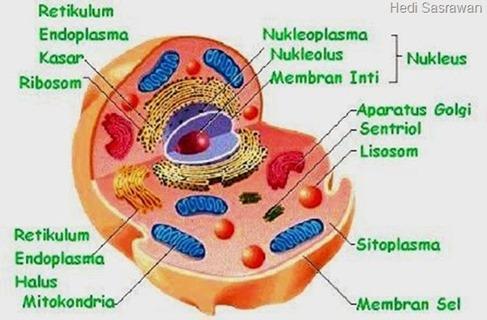 Bagian-bagian sitoplasma sel hewan