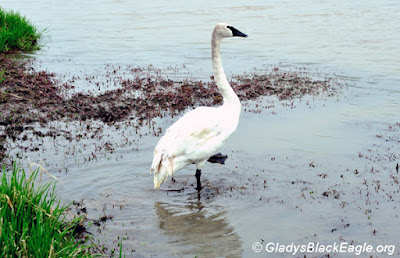 Here a trumpeter surveys the area shortly after being released at the DeCook Wetland in 2011.