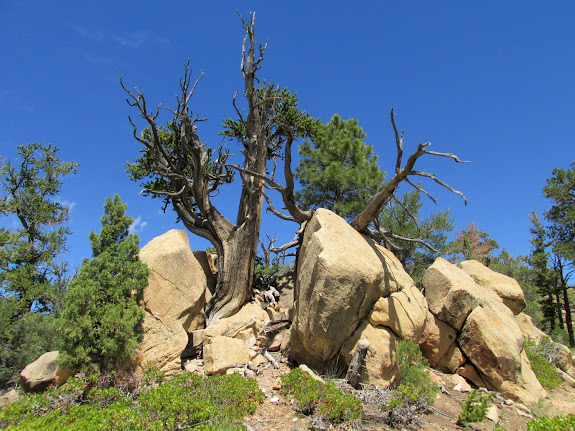 Bristlecone pines growing in the boulders