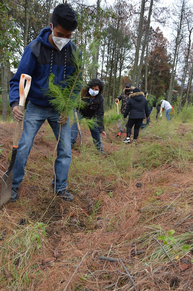 Mantiene CGE trabajos de saneamiento forestal en parque nacional Malinche