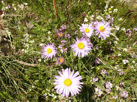 aster des Alpes Aster alpinus Asteracees. 2.JPG