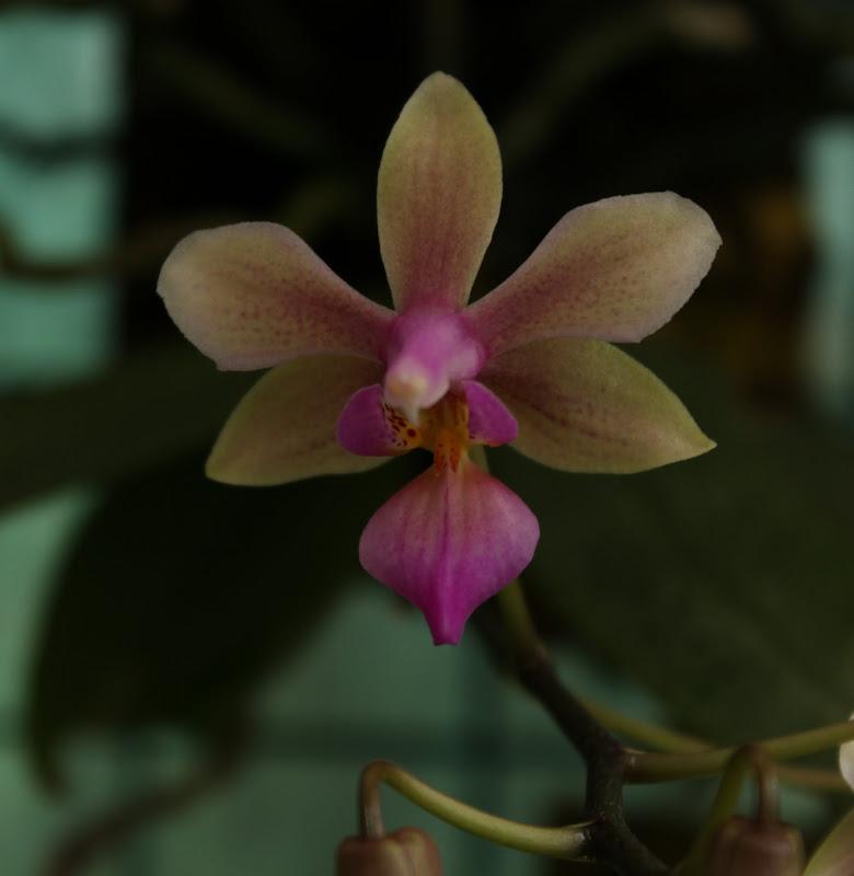 Phalaenopsis Ecoute S'il Pleut IMG_2424