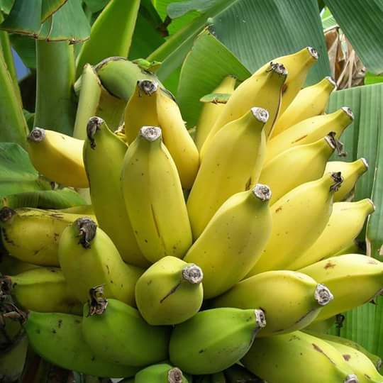 HERE ARE 6 HEALTH BENEFITS OF BANANAS
