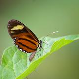 Ithomiinae : Ceratinia neso nisea (GODART, 1819). Saut Athanase (Guyane). 21 novembre 2011. Photo : J.-M. Gayman