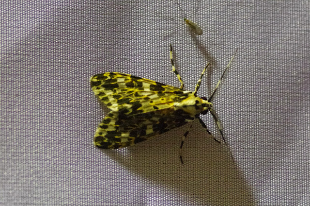 Symphlebia muscosa (Schaus, 1910). Mount Totumas, 1900 m (Chiriquí, Panamá), 23 octobre 2014. Photo : J.-M. Gayman