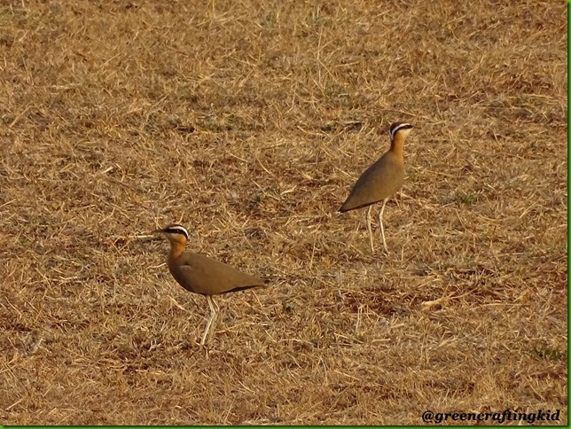 Indian Courser4