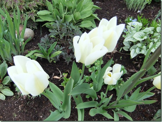Tulipan hvit