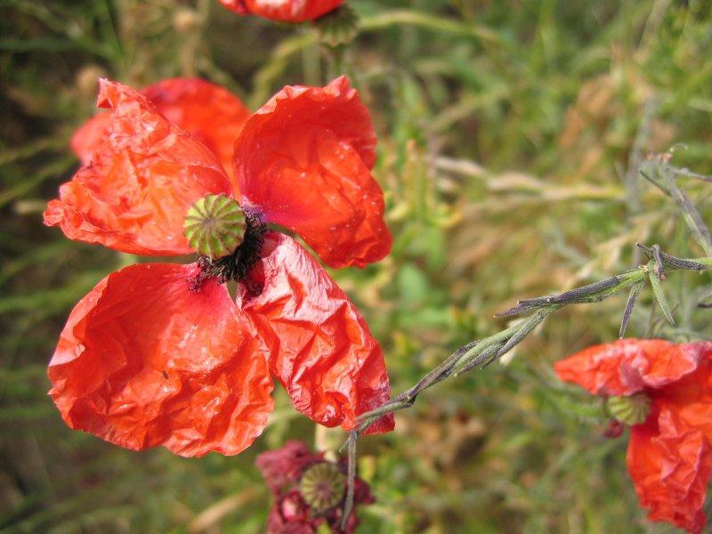 rumpled poppy