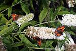 Nældens takvinger på sommerfuglebusk.jpg